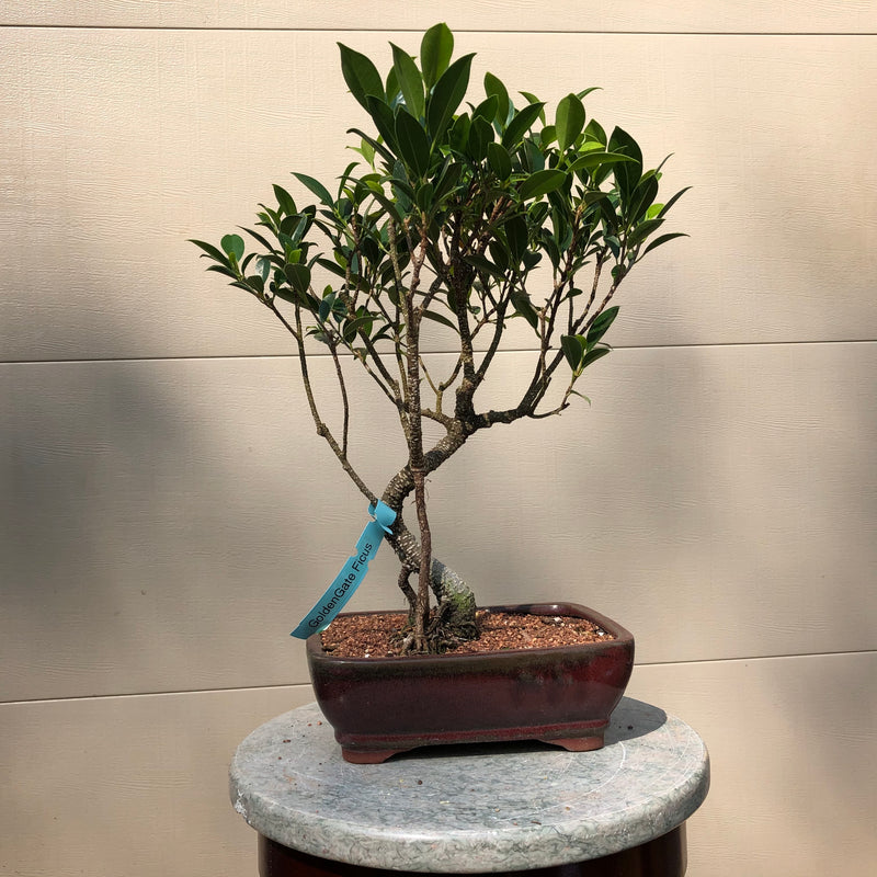 Ficus Golden Gate Bonsai