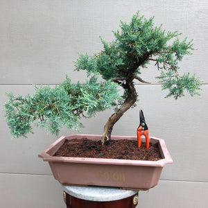 Grey Owl Juniper Bonsai GO-011