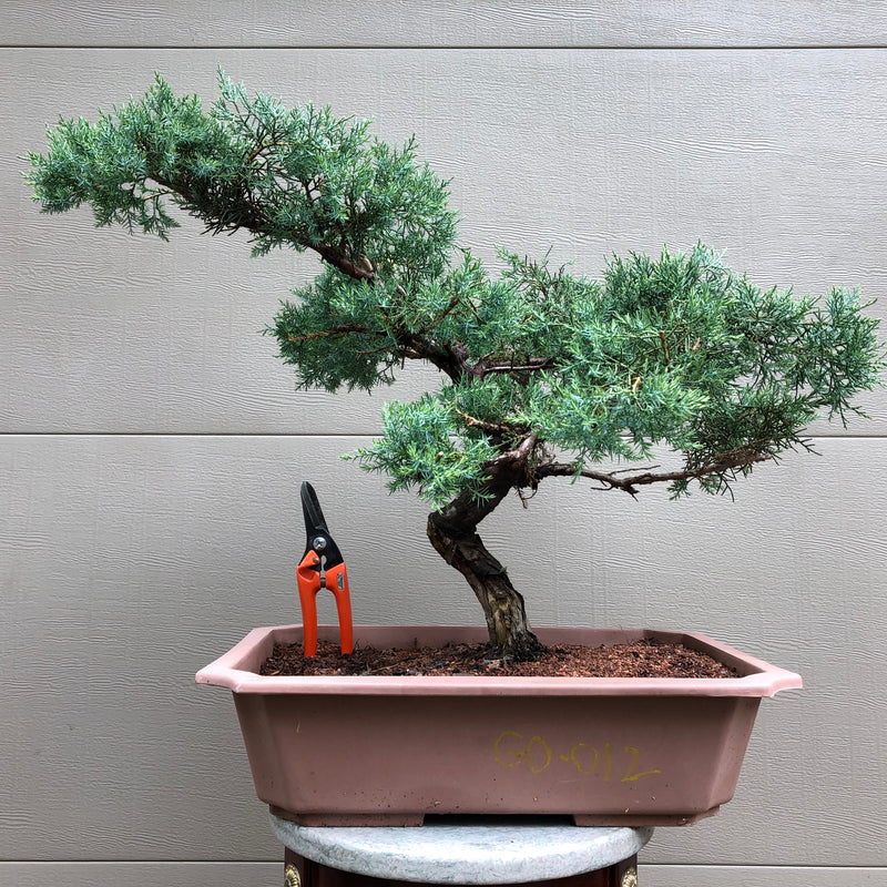 Grey Owl Juniper Bonsai Tree - GO-012