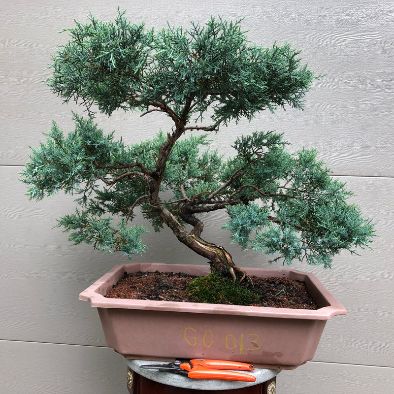 Grey Owl Juniper Bonsai GO -013