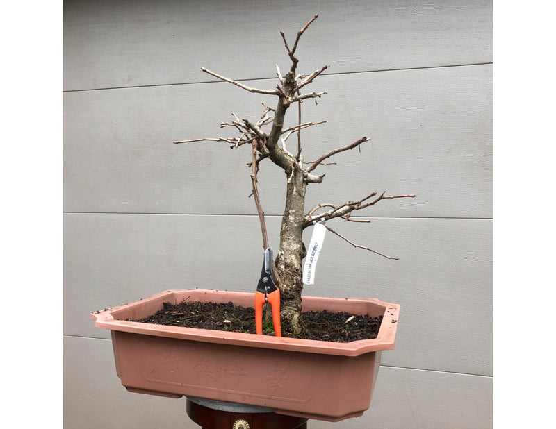 Ginkgo Maidenhair tree Bonsai