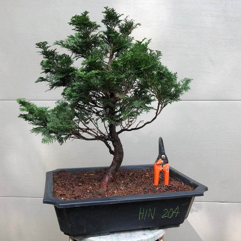 Hinoki Falsecypress Bonsai Tree #204