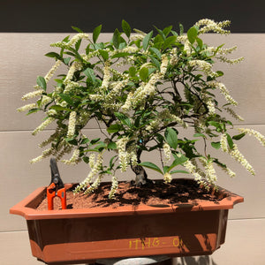 Sweetspire- Itea Bonsai Tree