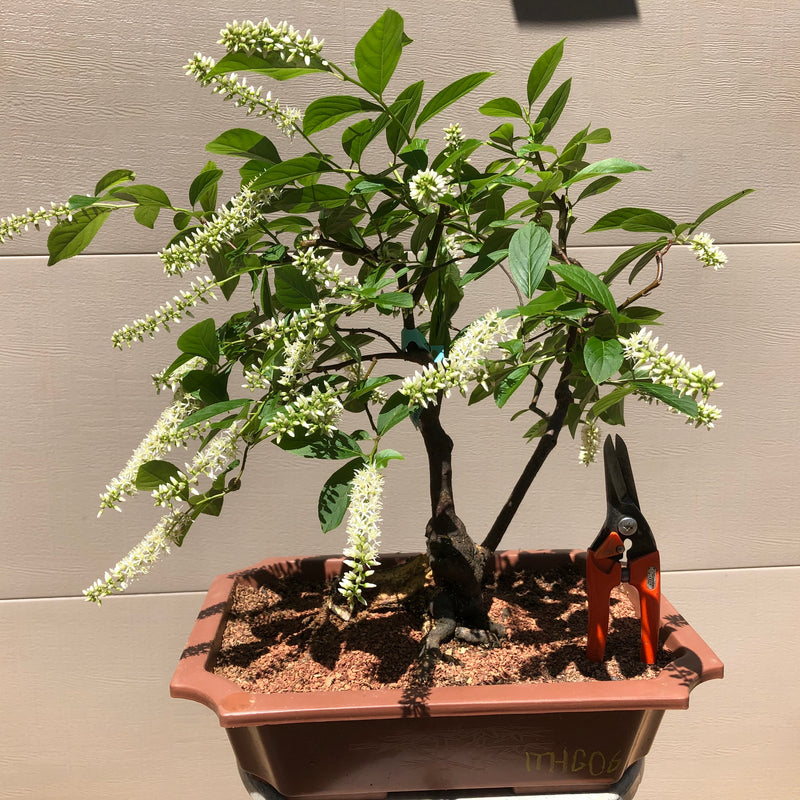 Henry's Garnet' - Sweetspire Bonsai Tree
