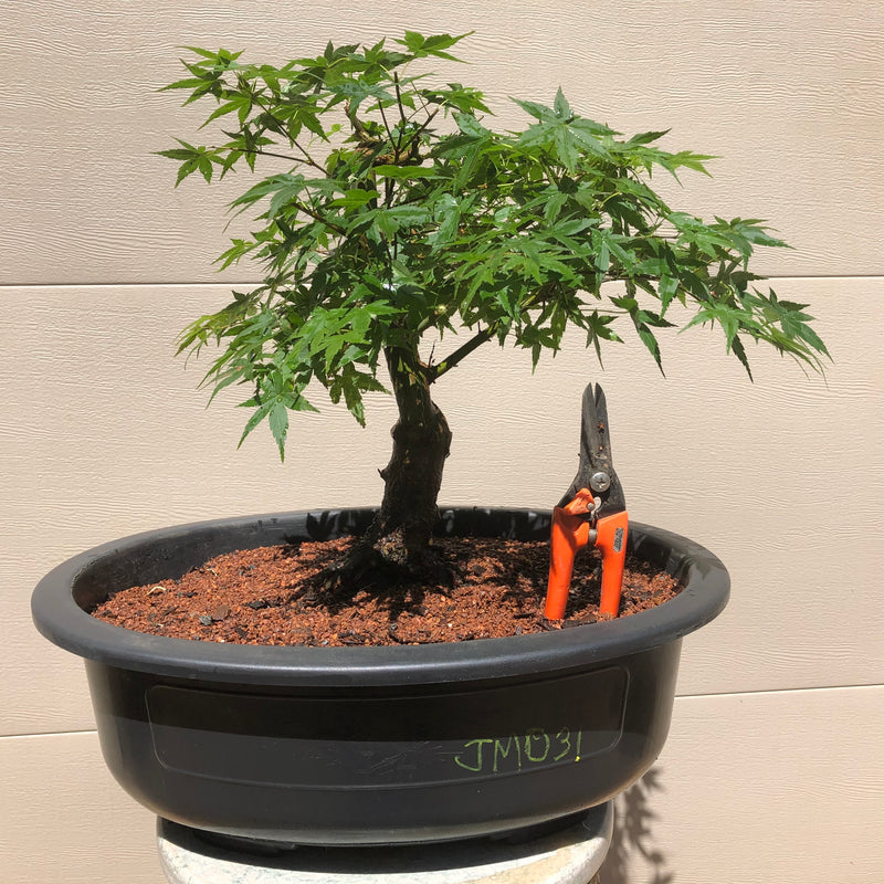 Japanese Maple Bonsai Tree JM-031