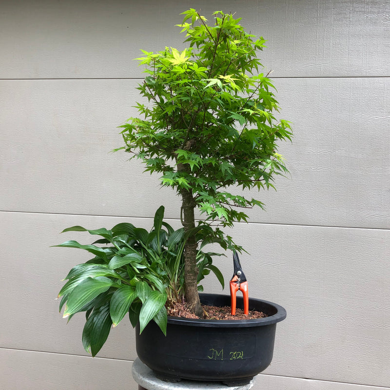 Japanese Maple Bonsai 2021 -Acer palmatum