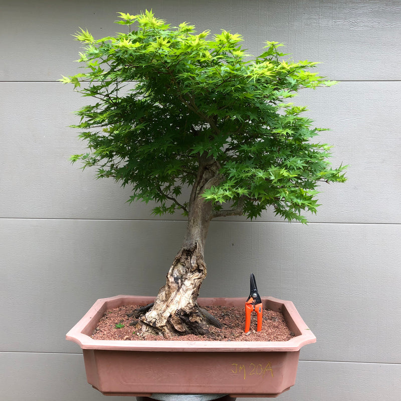 Japanese Maple Bonsai 20A with Uro/deadwood