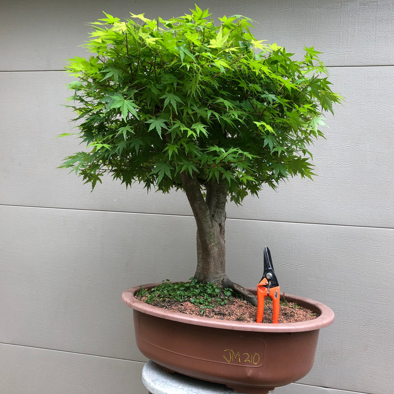 Japanese Maple Bonsai 2010