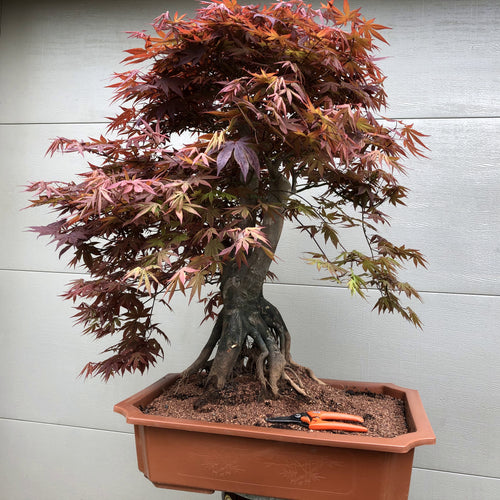 Japanese Red Maple 201