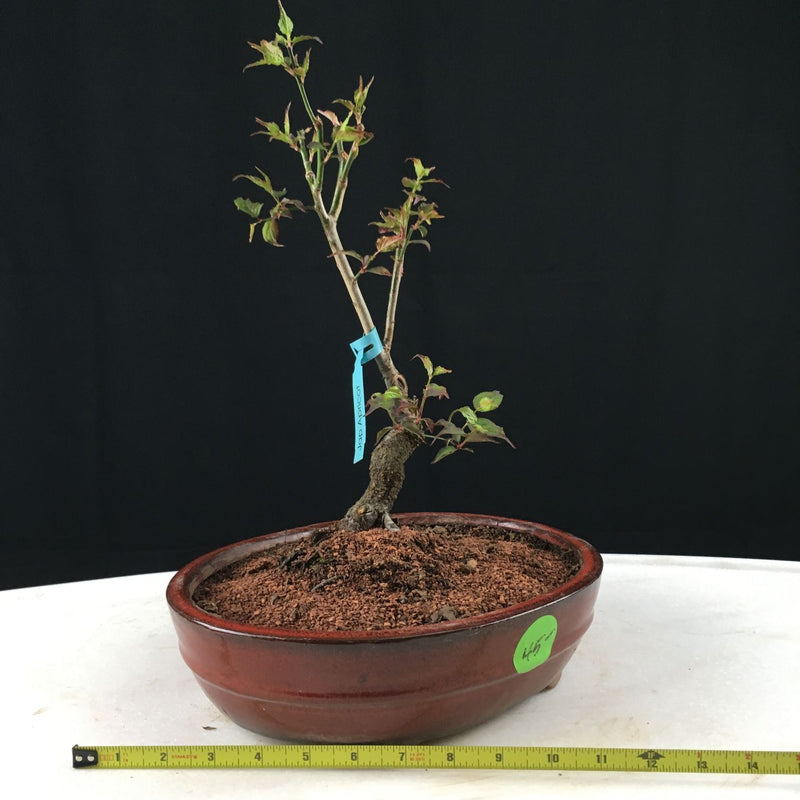 Japanese Apricot Bonsai Tree