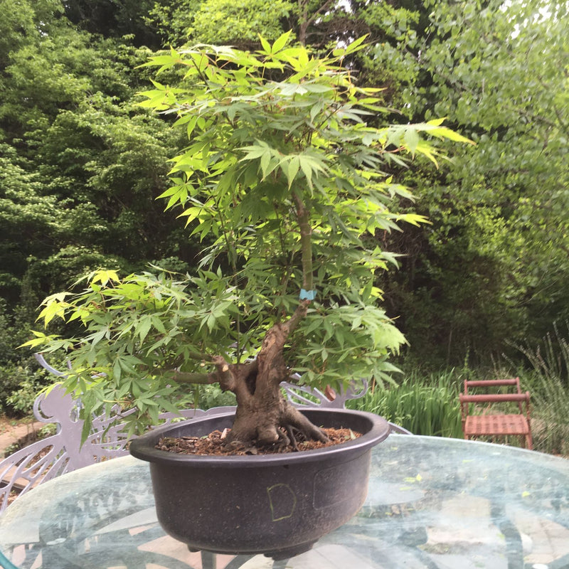 Japanese Cutleaf Maple Bonsai Tree