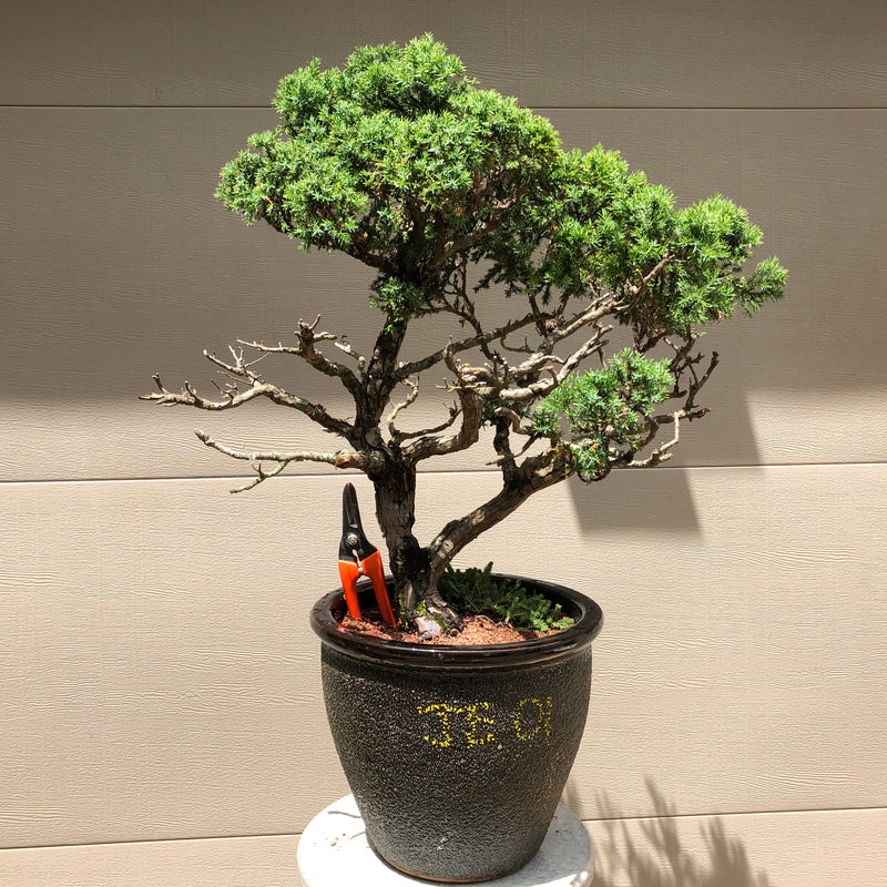 Echiniformis Juniper Bonsai