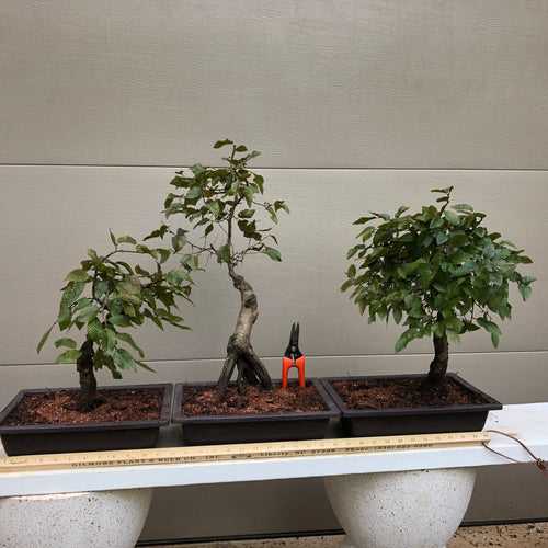 Korean Hornbeam Bonsai #CACO-012