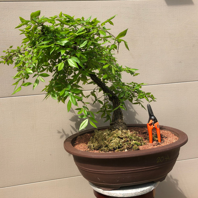 Weeping Winged Elm Bonsai Tree