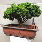 Kingsville boxwood Bonsai Tree