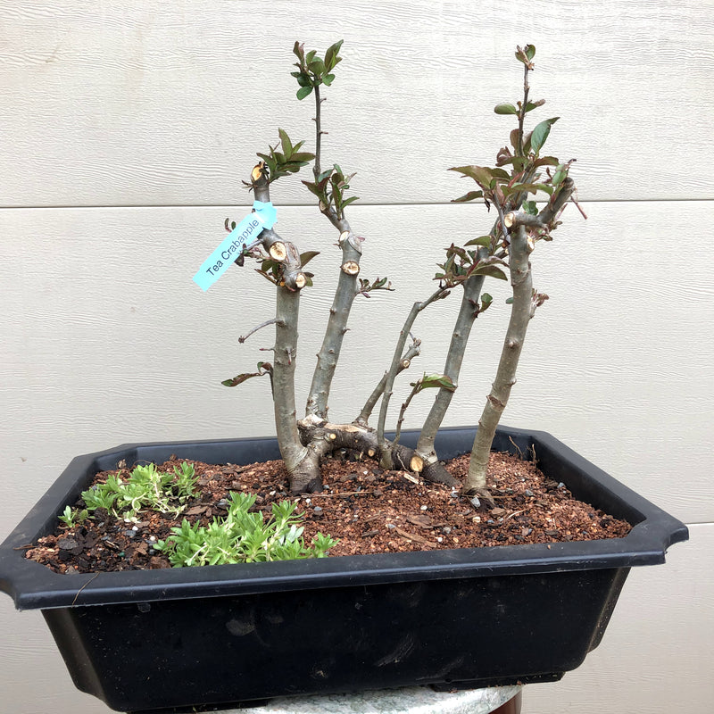 Tea Crabapple Raft Bonsai Tree