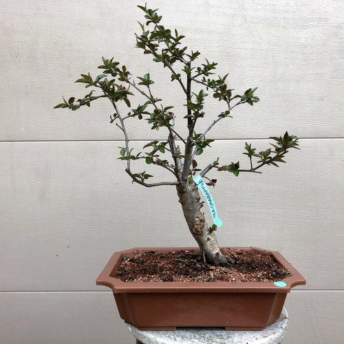 Tea Crabapple Bonsai Tree
