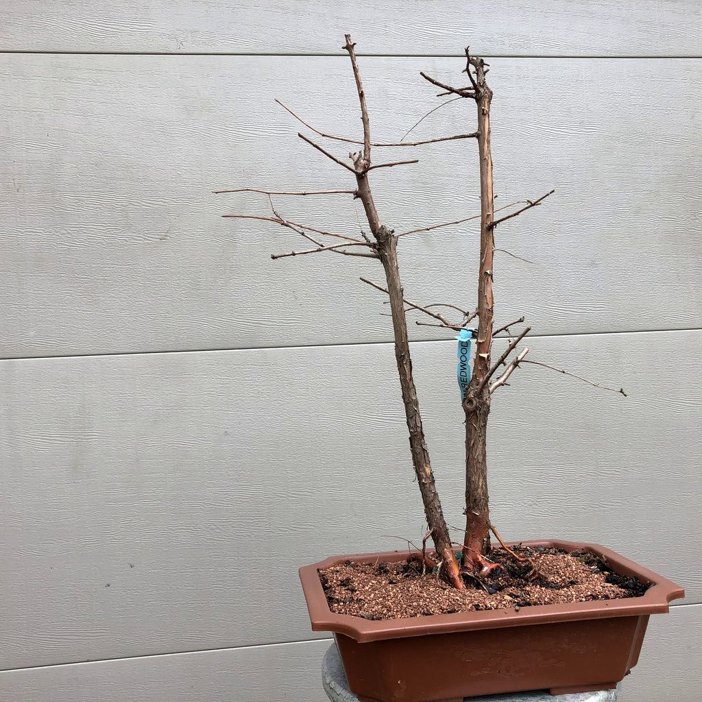 Dawn Redwood Bonsai Twin Trunk