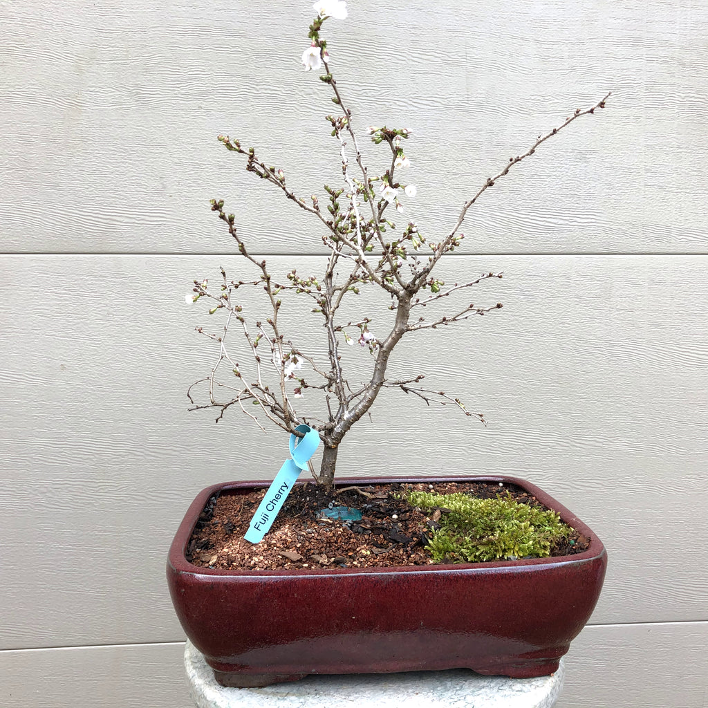 Kojo-no-mai Cherry Bonsai2