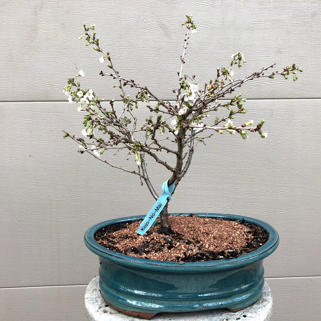 Fuji Cherry3 -Prunus incisa 'Kojo no-mai'