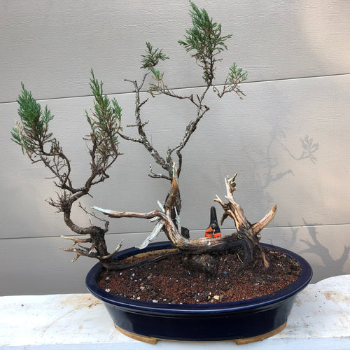 Rocky Mountain Juniper Bonsai Tree