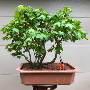 SweetGum Raft Grouping Bonsai