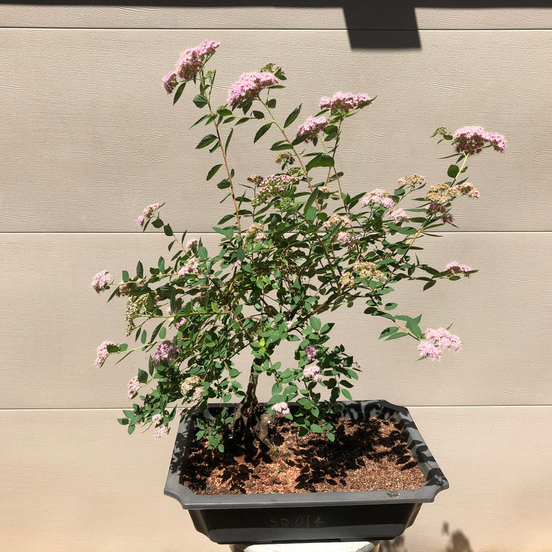 Spirea Bonsai