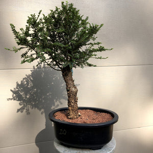 Seiju Chinese Lacebark Elm Bonsai Tree