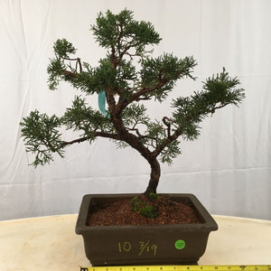 Shimpaku Juniper Bonsai Tree