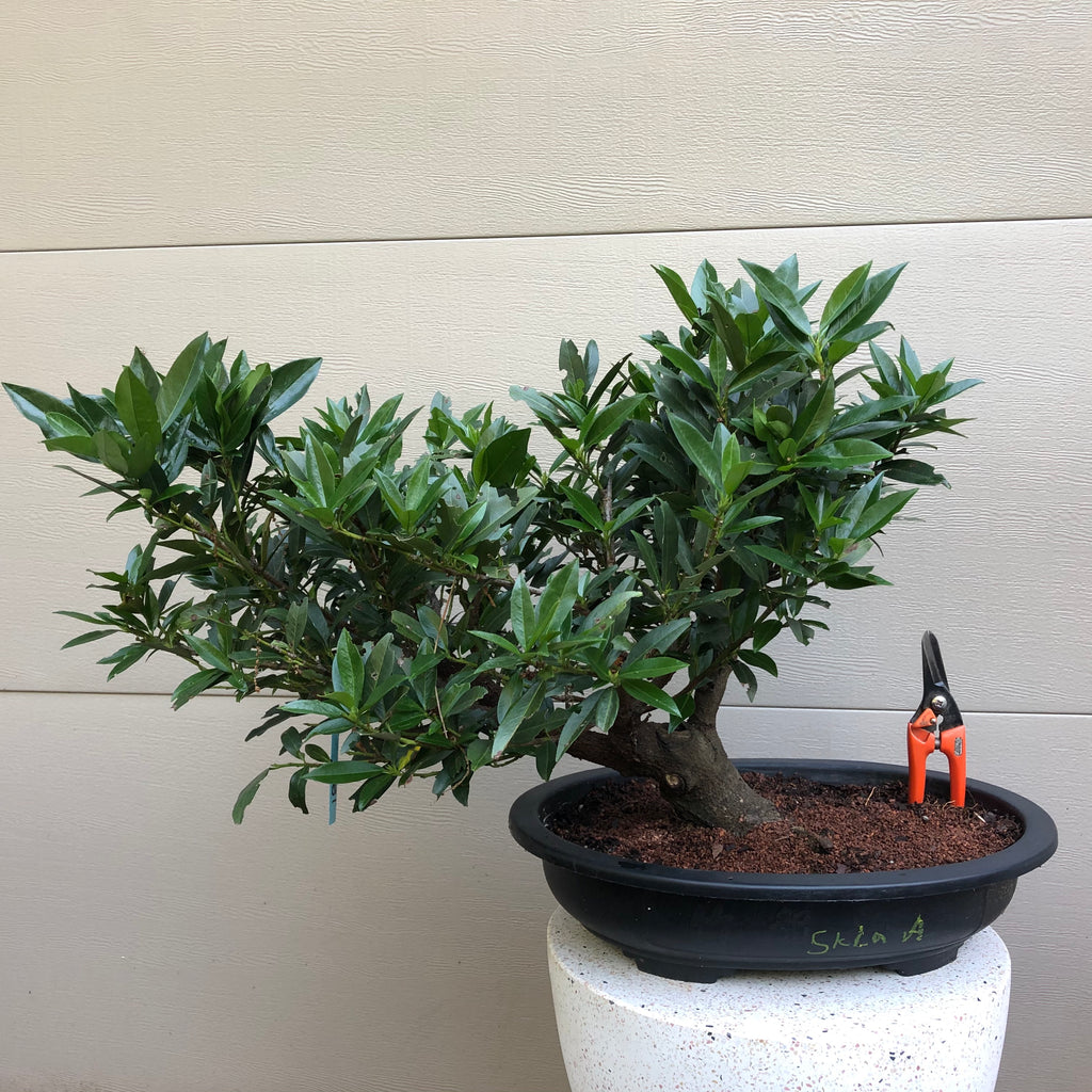 Skip Laurel Cherry Bonsai - Prunus lauro 'Otto Luyken'