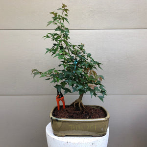 Trident Maple Bonsai Tree -