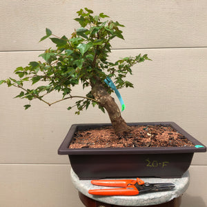 Trident Maple Bonsai - Acer buergerianum
