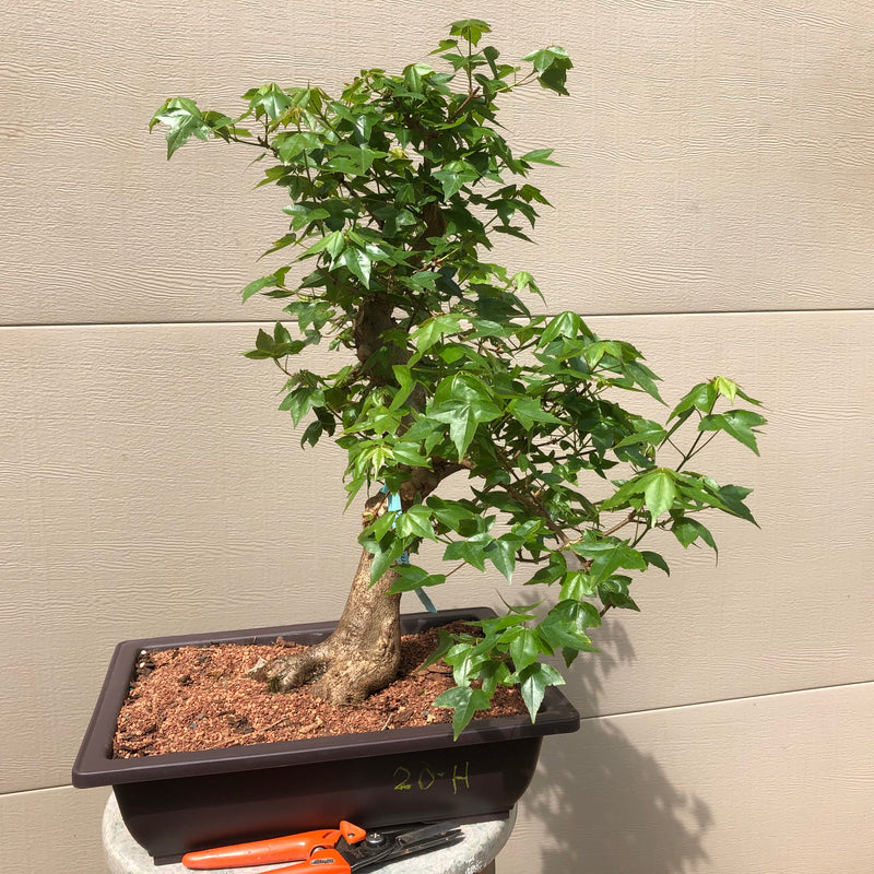 Trident Maple Bonsai 20H