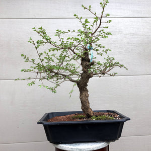 Seiju Chinese Elm Bonsai