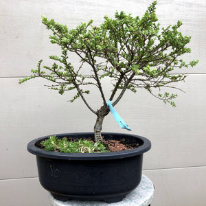Seiju Chinese Elm Bonsai Tree
