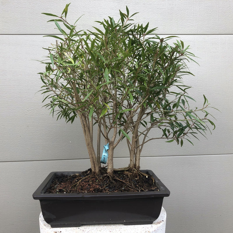 Willow Leaf Ficus Forest