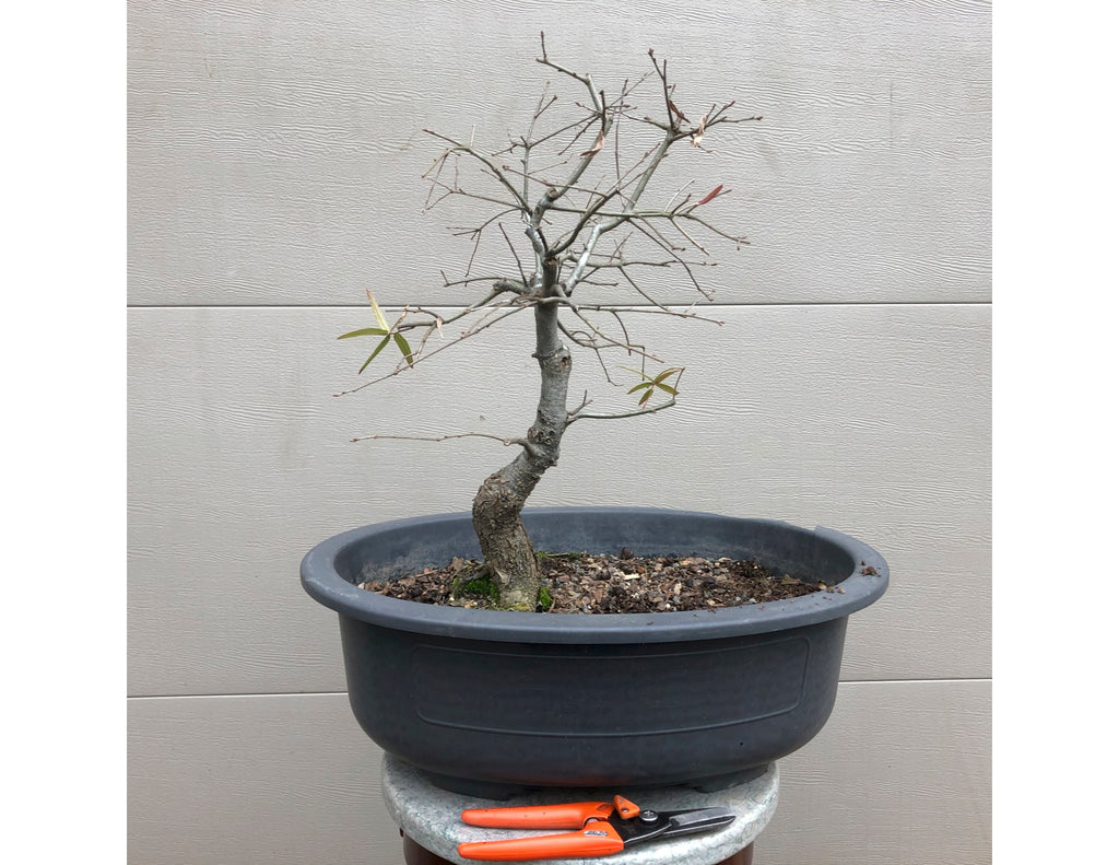 Willow Oak Bonsai -Quercus phellos