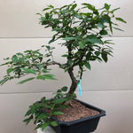 Winterberry Bonsai Tree