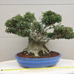 Yaupon Holly Bonsai Tree - Ilex vomitoria