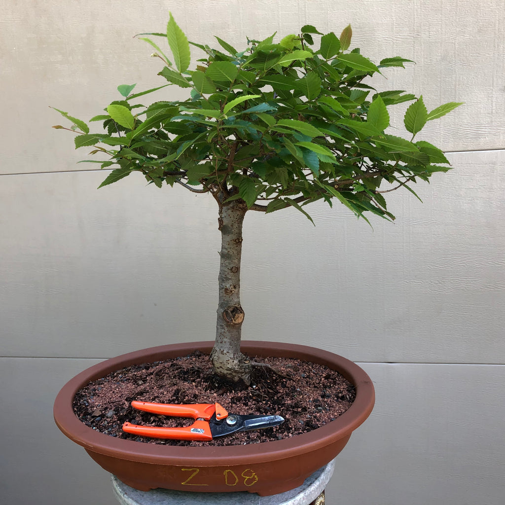 Zelkova Bonsai Z08