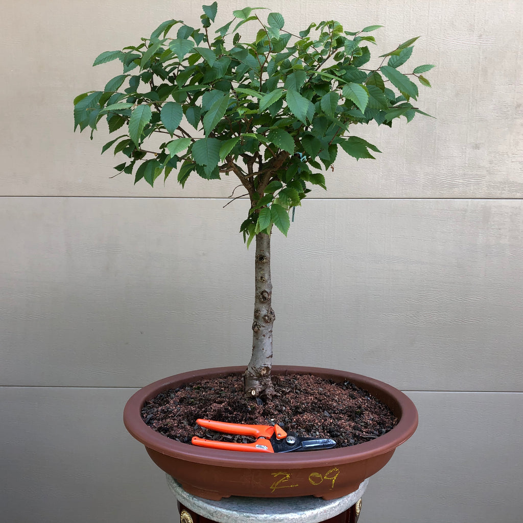 Zelkova Bonsai Z09
