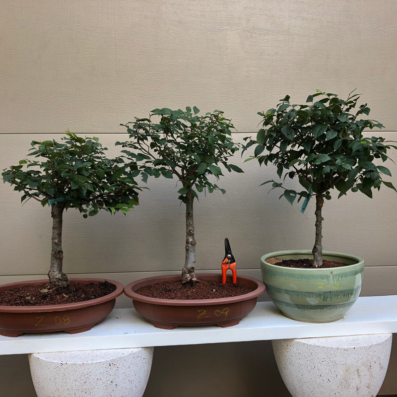 Zelkova Bonsai 8, 9 or 13