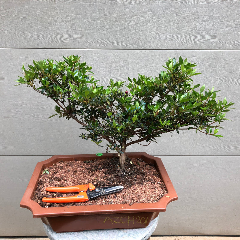 Copy of Satsuki Chinzan Azalea #201 Bonsai