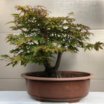 Japanese Red Maple 202