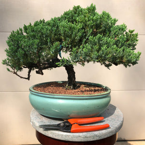 Juniper procumbens nana Bonsai 20-6