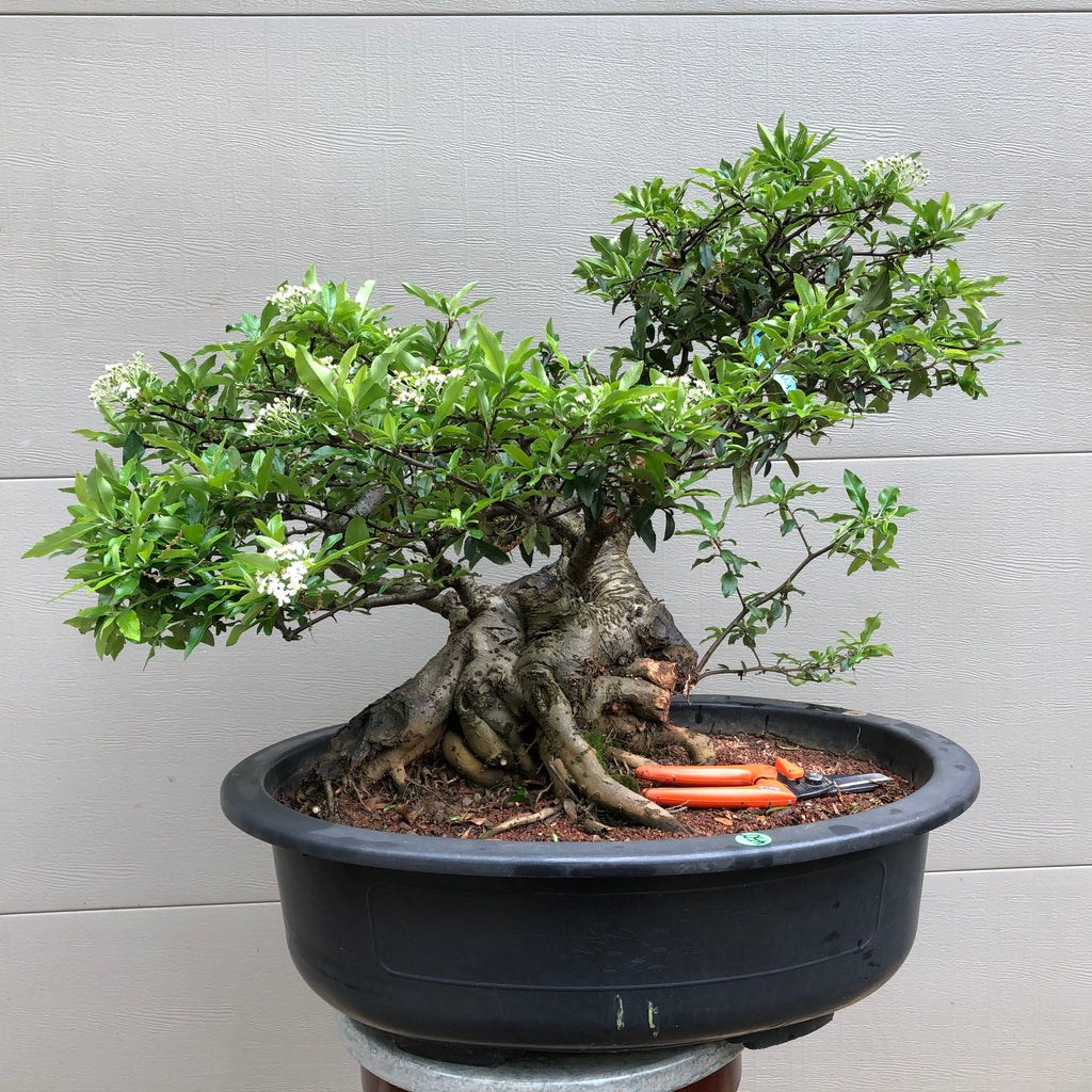 Scarlet Firethorn Bonsai Tree
