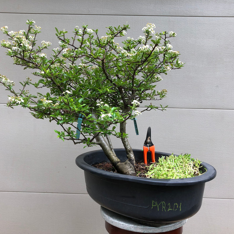 Pyracantha 'Red Cushion'  Bonsai Tree