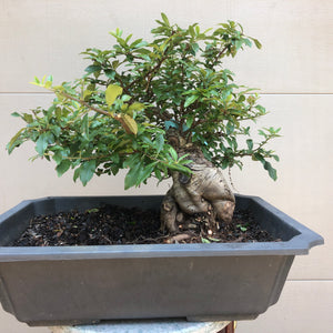 Scarlet Firethorn #2 Bonsai Tree