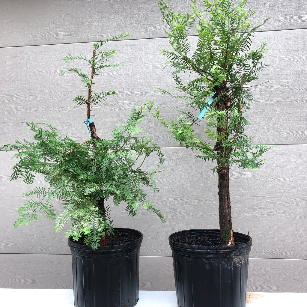 Dawn Redwood Bonsai Tree