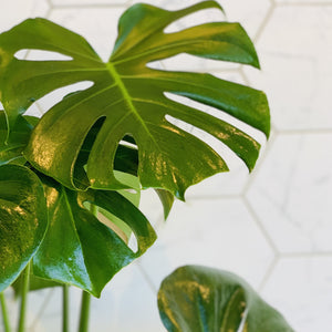 "Philodendron Monstera in 10"" Lined Basket"